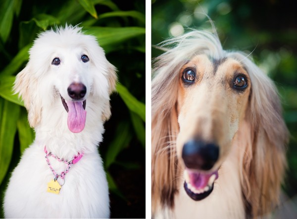 © Emilee Fuss Photography | Daily Dog Tag |Afghan Hounds