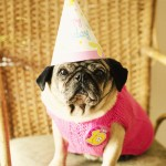 Melbourne Pet Photgrapher, Pug Birthday Party