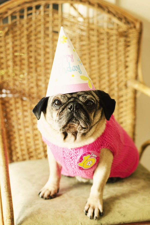 © Erin McNulty Pet Photographer | Daily Dog Tag |Melbourne Pet Photgrapher, Pug Birthday Party
