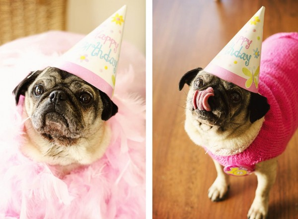 © Erin McNulty Pet Photographer | Daily Dog Tag |Pretty in Pink Pug Party