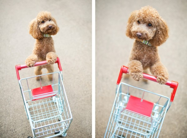 © McGraw Photography | Daily Dog Tag | Poodle-shopping-cart