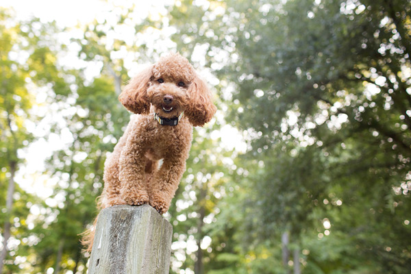 © McGraw Photography | Daily Dog Tag | Poodle-on-fencepost