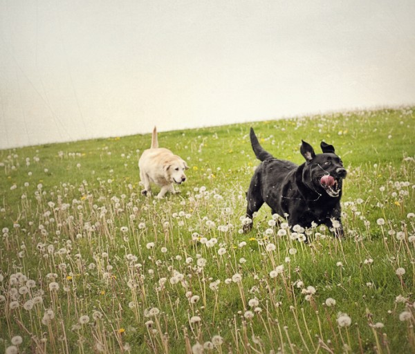 © StudioFido | Daily Dog Tag | Labs romping through the dandelions on a gray day