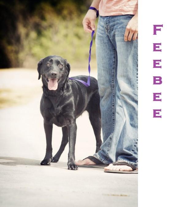 © Photos by Keshia | Daily Dog Tag |Adoptable Black Lab, Feebee
