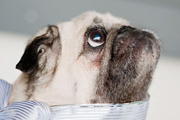 © Alice G Patterson Photography   Daily Dog Tag  Pug, Dog-Syracuse-Pet-Photography