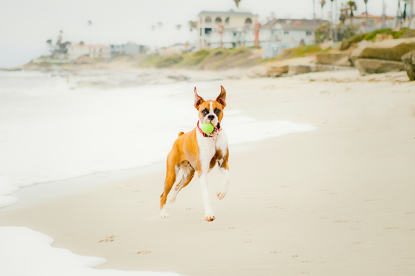 boxer catching tennis ball on dog friendly beach, CO dog photographer