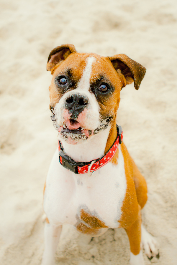 sand on the boxer, boxer on the sand | Beach dog, ©Skyy Blue Photography