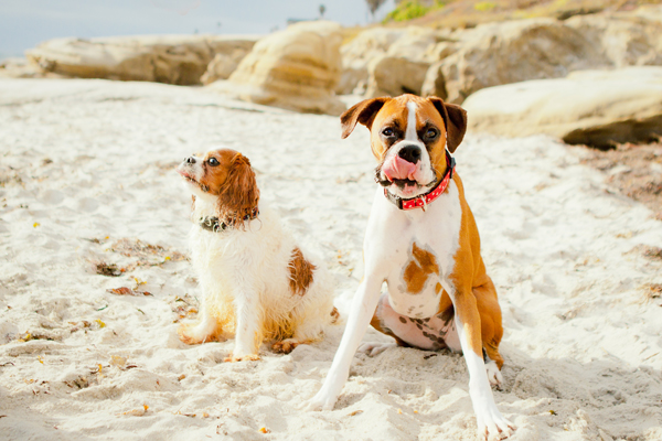 Cavalier and Boxer sitting on the sand, beach dogs dog photographer, dog friendly Pacific Beach, CA | Ali Peterson