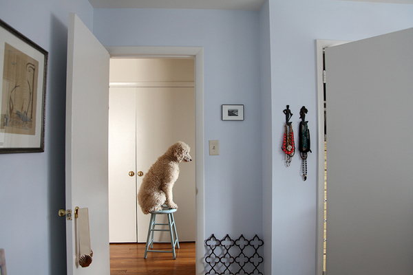 © Le Caniche Fou | Daily Dog Tag | white standard poodle sitting on blue stool