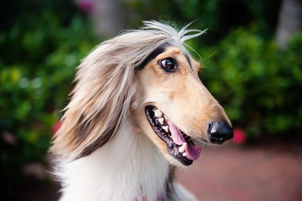 © Emilee Fuss Photography | Daily Dog Tag |Paris, the Afghan Hound