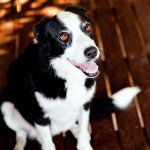 Border-Collie-New-South-Wales-Charlotte-Reeves-6010