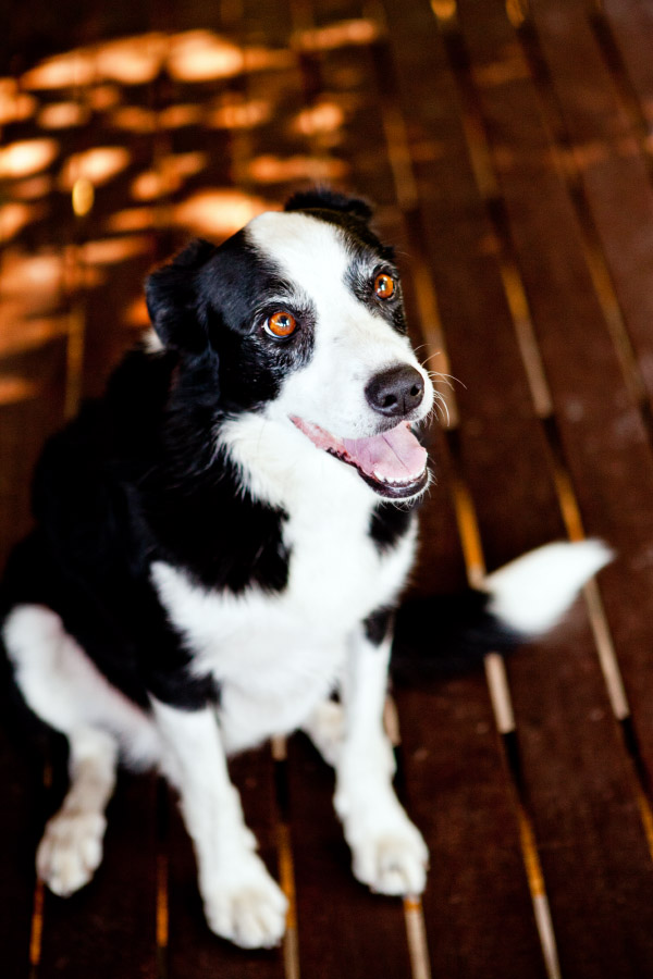 Border Collie on porch