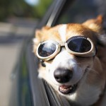 Corgie loving car ride