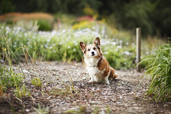 Adorable Corgi. older dog