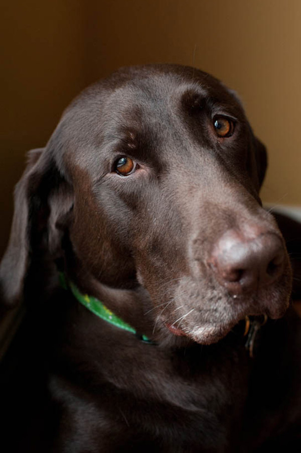 Chocolate-Lab-mix-Portraits, CNY-pet-photographer