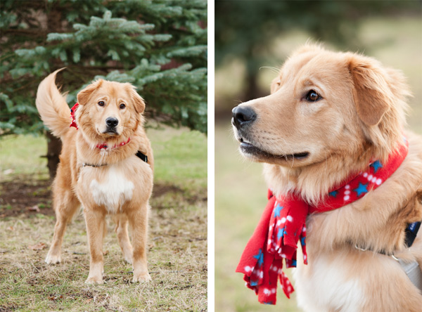 © Alice G Patterson Photography | Syracuse lifestyle dog photographer, holiday photos with dogs, Golden Retriever mix wearing holiday scarf