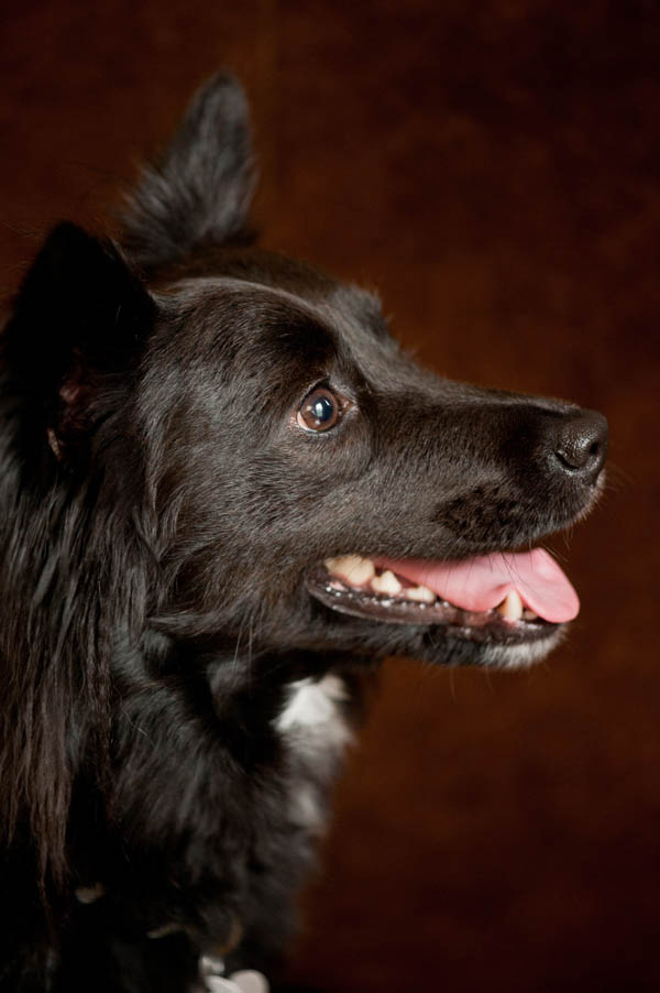 DC-Dog-Portraits, profile-of-small-black-dog