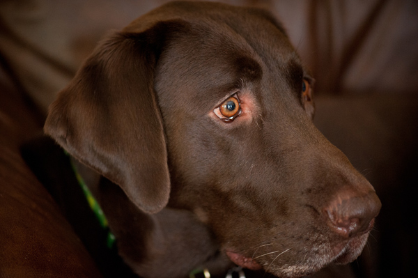 Chocolate-Lab-Retriever-mix-pictures, Lab-rescue-LRCP-alum