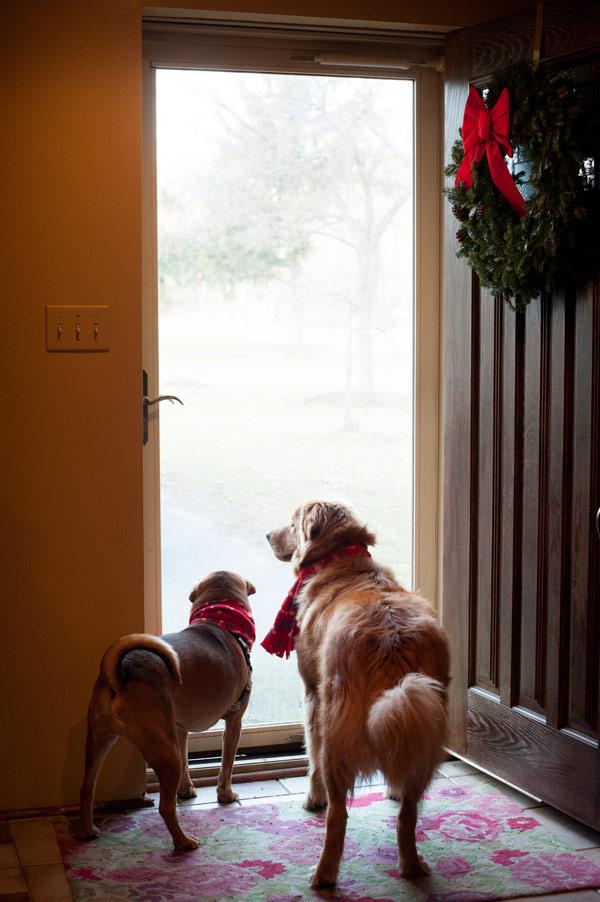 © Alice G Patterson Photography | Syracuse lifestyle dog photographer, Christmas-Dog-Portraits-CNY