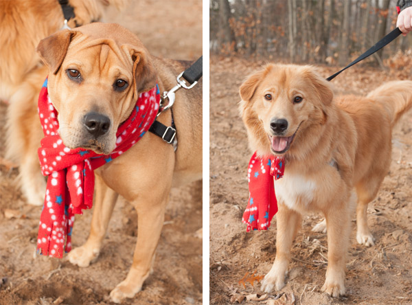 © Alice G Patterson Photography | Syracuse on location Dog-Photography, Sharpei-Beagle-mix, Golden-Retriever-mix-rescue-dog