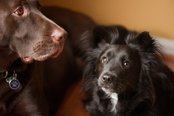 Lost-dog-&-cat-foundation, Lab-Rescue-LRCP
