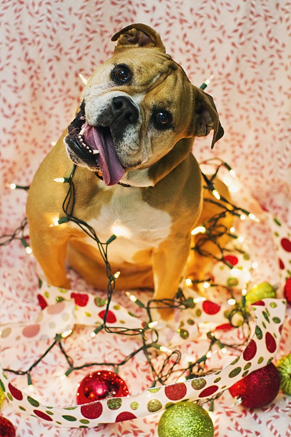 Bulldog-tangled-in-holiday-lights