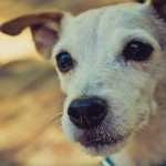Jack Russel Terrier, Austin Portrait Photography