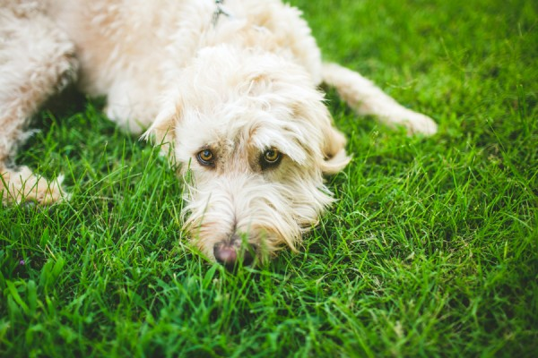 adorable Labradoodle lying on grass