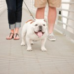 white-and-brown-English-bulldog
