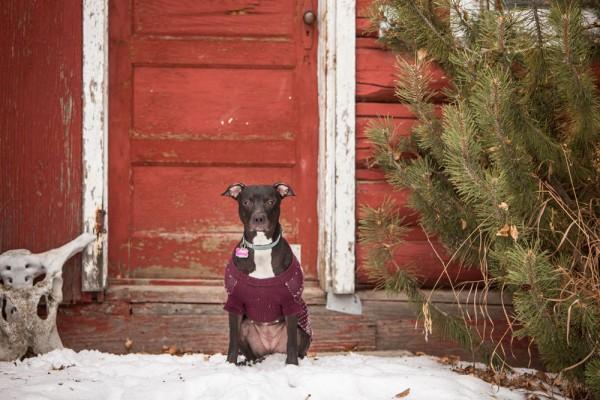 adoptable-pitbull-whippet-cross, Underdogs-Rescue