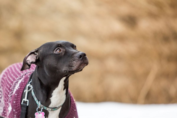 Pitbull-looking-for-love, dog-photography