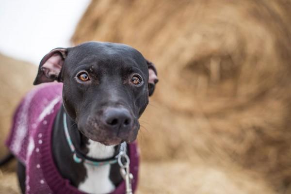 Adopt-this-dog, Pitbull-mix-in-winter