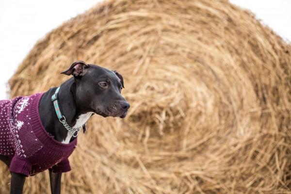 Adopt-Gaia!, dog-on-farm