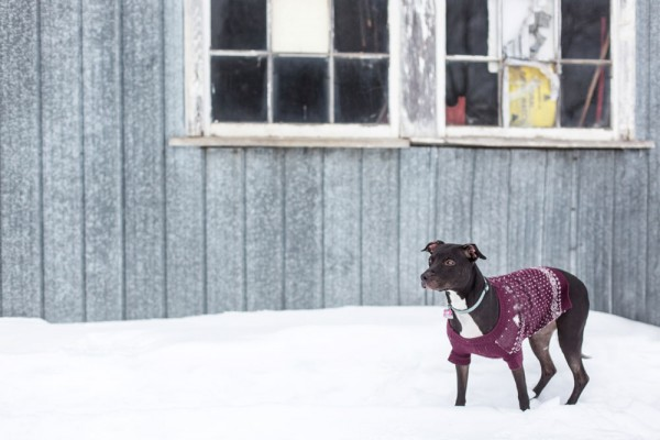 Pitbull-looking-for-love, purple-dog-sweater
