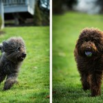 Labradoodles-playing-on grass