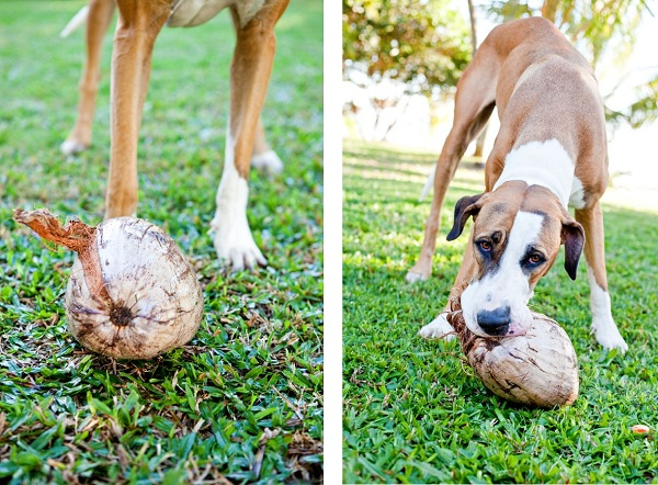 Great-Dane-plays-with-coconut