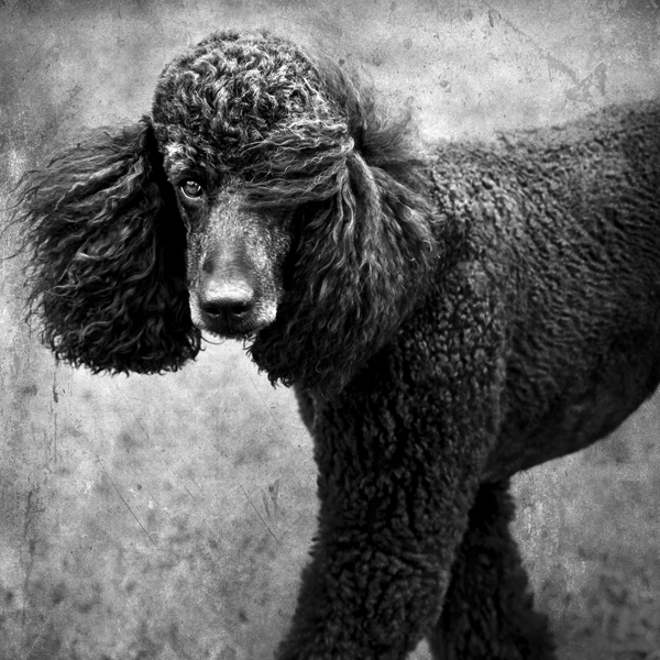 Black-Standard-Poodle, Handsome-dog-obsession