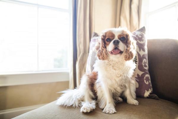 dogs-on-furniture, King-Charles