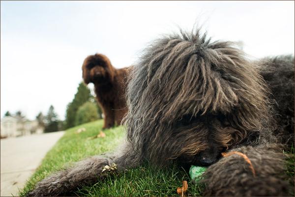 senior-Labradoodle-Tribute-session, dog-photographer