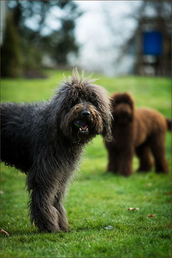 Grey-and-Brown-Labradoodles, Pittsburgh-pet-photographer