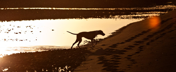 Great-Dane-mix-on-beach