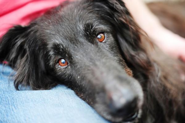 Groenendael-mix, canine-cancer-survivor