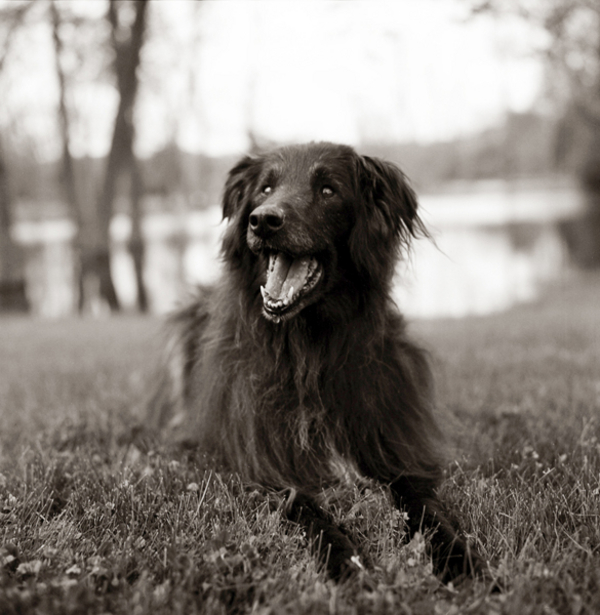senior-Belgian-Sheepdog-mix. black-and-white-portrait-Groenendael