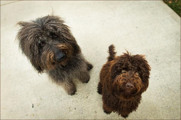 Nicole-Begley-Photography-Pet-Portraits, shaggy-dogs