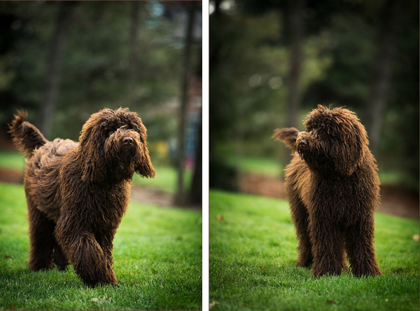 PIttsburgh-Dog-Photographer, brown-labradoodle-pup