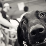 black-lab-mix-