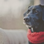 Black-Lab-wearing-red-scarf