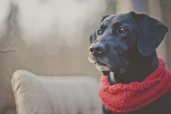 © StudioFido |Black-Lab-wearing-red-scarf | handsome dog