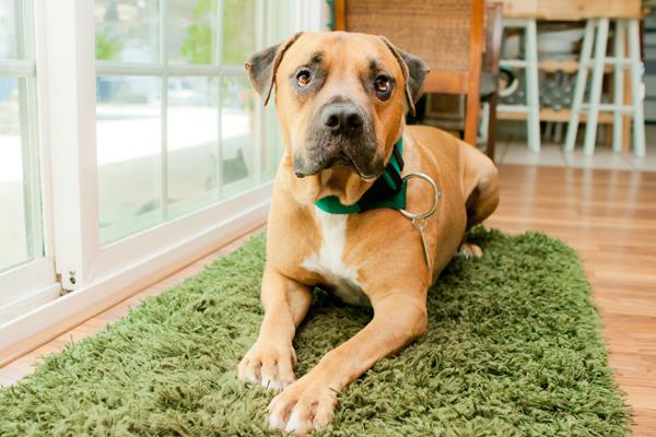 Pitty-mastiff-mix-rescue, CO-dog-photographer