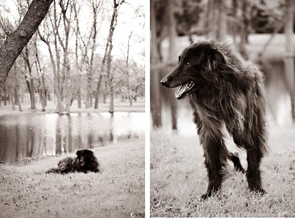 senior-Belgian-Sheepdog. black-and-white-portrait-Groenendael
